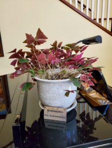 Shamrock plant in white vase